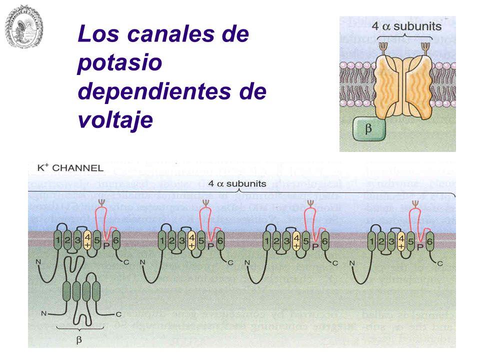 Los canales de potasio dependientes de voltaje