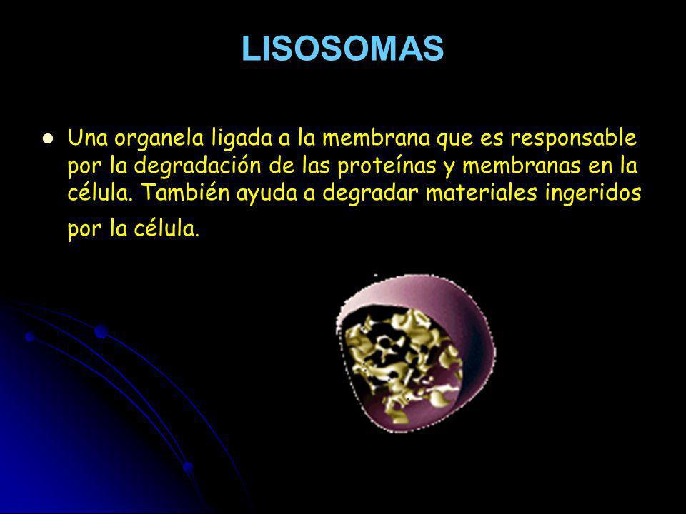 LISOSOMAS Una organela ligada a la membrana que es responsable por la degradación de las proteínas y membranas en la célula. También ayuda a degradar