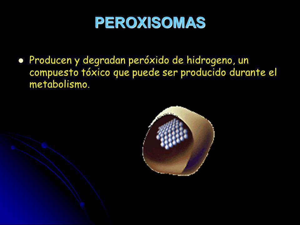 PEROXISOMAS Producen y degradan peróxido de hidrogeno, un compuesto tóxico que puede ser producido durante el metabolismo.