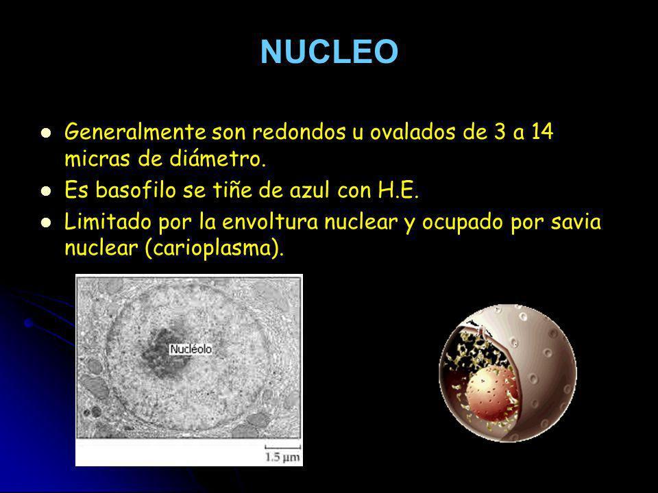 NUCLEO Generalmente son redondos u ovalados de 3 a 14 micras de diámetro. Es basofilo se tiñe de azul con H.E. Limitado por la envoltura nuclear y ocu