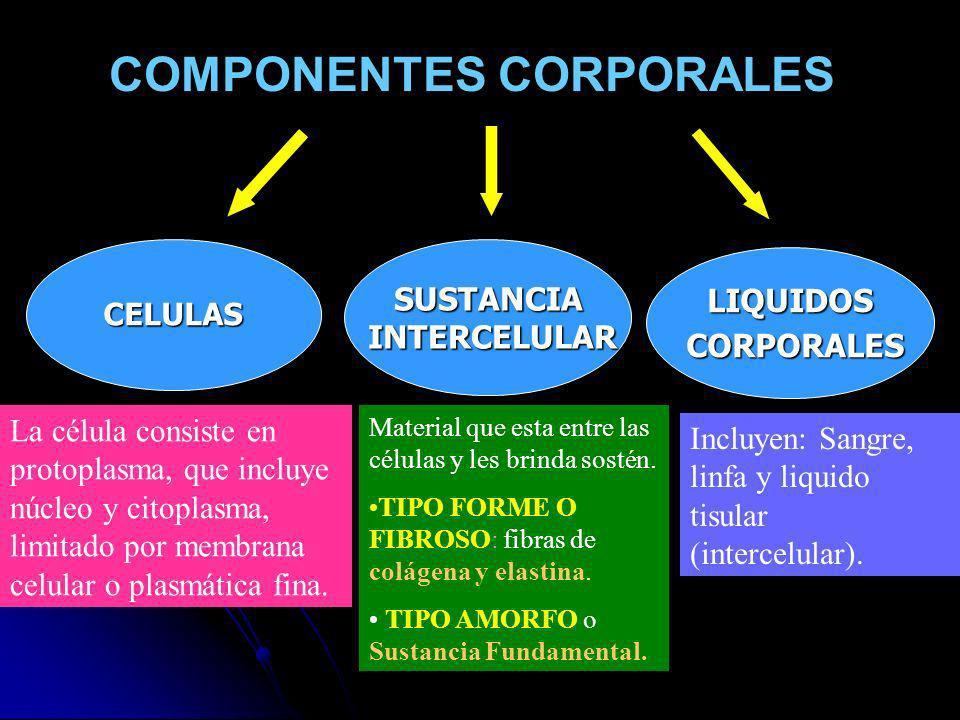 COMPONENTES CORPORALES CELULASSUSTANCIA INTERCELULAR INTERCELULAR LIQUIDOS CORPORALES CORPORALES Material que esta entre las células y les brinda sost