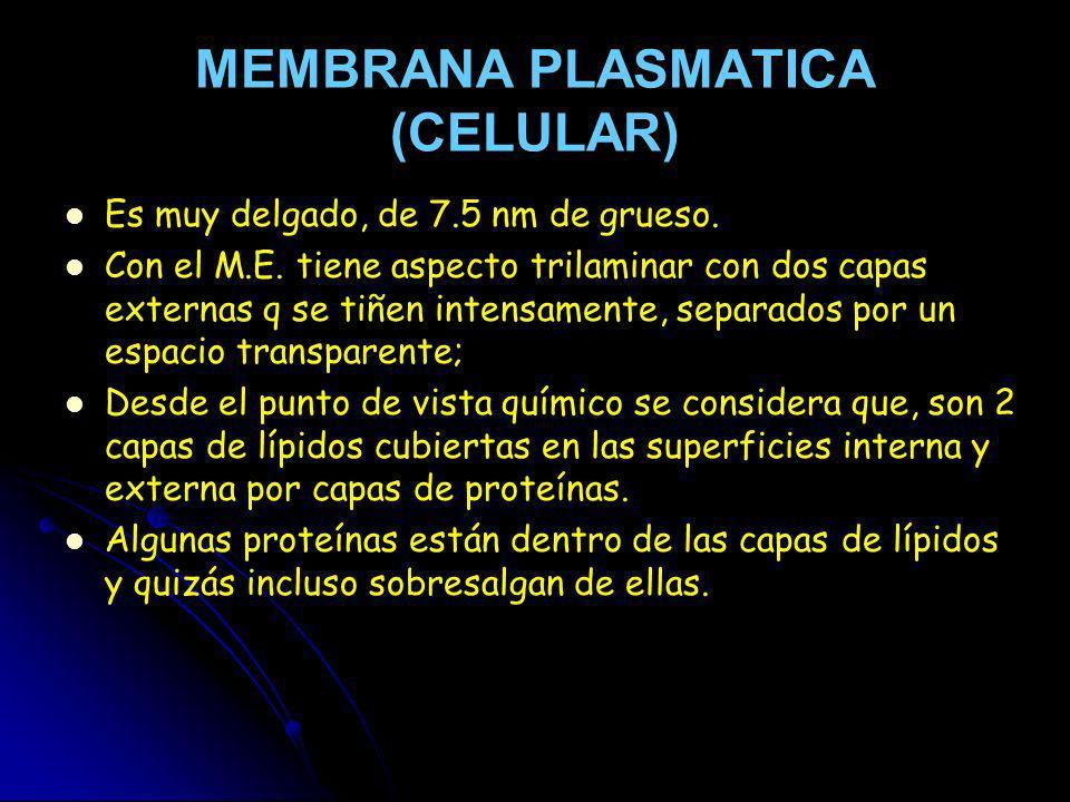 MEMBRANA PLASMATICA (CELULAR) Es muy delgado, de 7.5 nm de grueso. Con el M.E. tiene aspecto trilaminar con dos capas externas q se tiñen intensamente