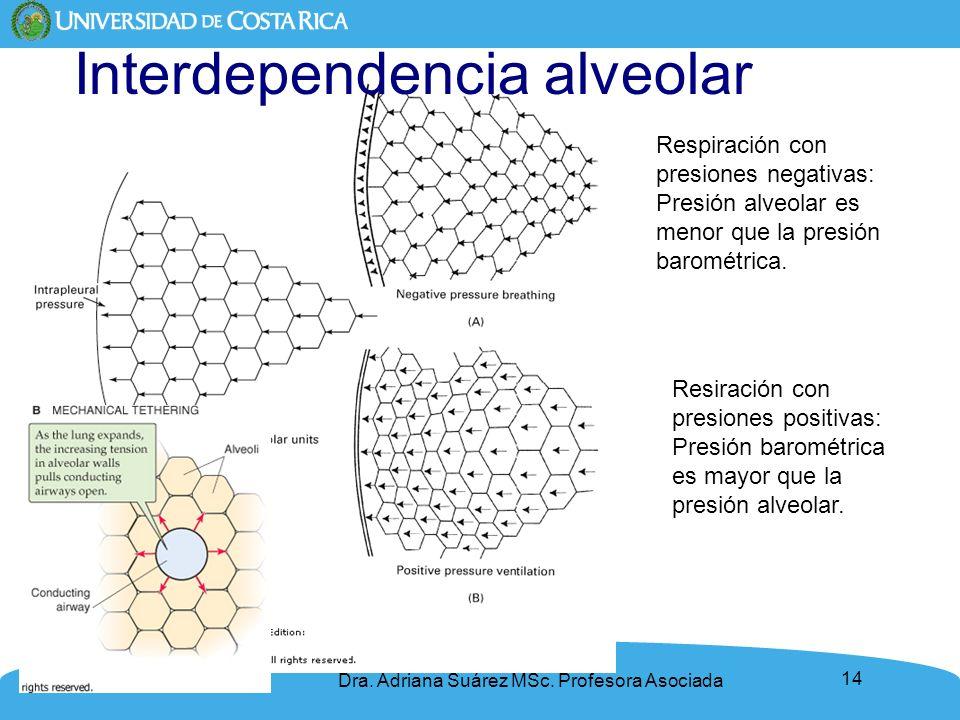 14 Interdependencia alveolar Dra. Adriana Suárez MSc. Profesora Asociada Respiración con presiones negativas: Presión alveolar es menor que la presión