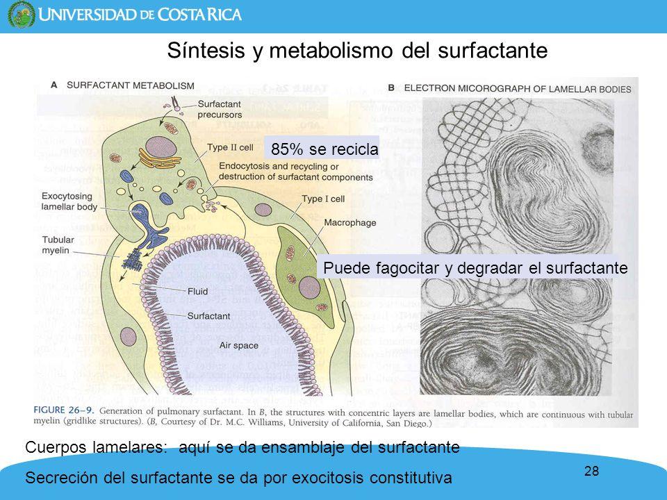 28 85% se recicla Puede fagocitar y degradar el surfactante Cuerpos lamelares: aquí se da ensamblaje del surfactante Secreción del surfactante se da p