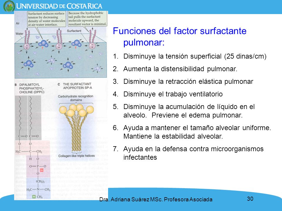 30 Funciones del factor surfactante pulmonar: 1.Disminuye la tensión superficial (25 dinas/cm) 2.Aumenta la distensibilidad pulmonar. 3.Disminuye la r