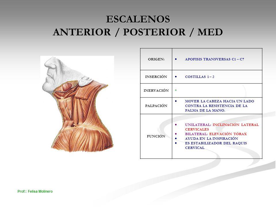 Prof:: Felisa Molinero ESCALENOS ANTERIOR / POSTERIOR / MED ORIGEN: APOFISIS TRANSVERSAS C1 – C7 INSERCIÓN COSTILLAS 1 – 2 INERVACIÓN* PALPACIÓN MOVER