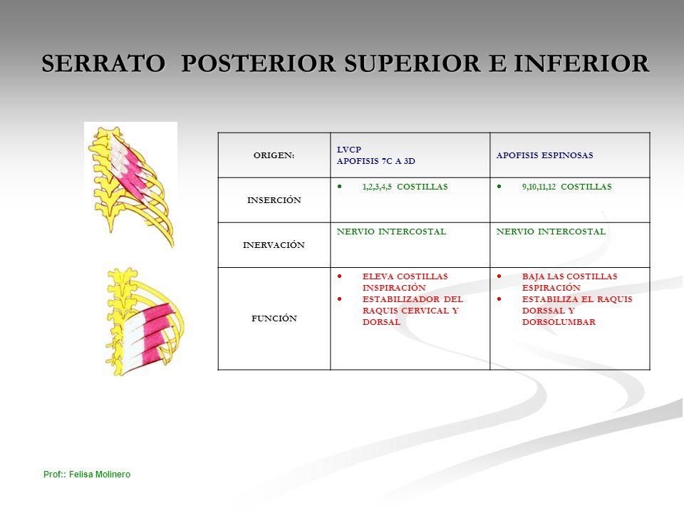 Prof:: Felisa Molinero SERRATO POSTERIOR SUPERIOR E INFERIOR ORIGEN: LVCP APOFISIS 7C A 3D APOFISIS ESPINOSAS INSERCIÓN 1,2,3,4,5 COSTILLAS 9,10,11,12
