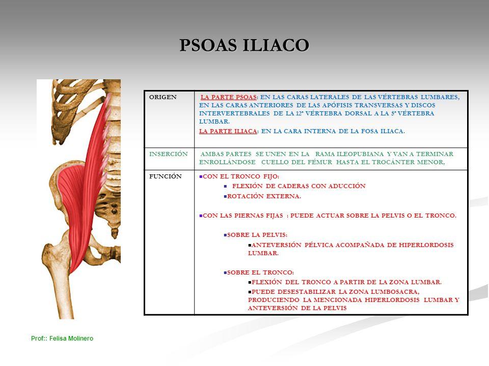 Prof:: Felisa Molinero PSOAS ILIACO ORIGEN LA PARTE PSOAS: EN LAS CARAS LATERALES DE LAS VÉRTEBRAS LUMBARES, EN LAS CARAS ANTERIORES DE LAS APÓFISIS T