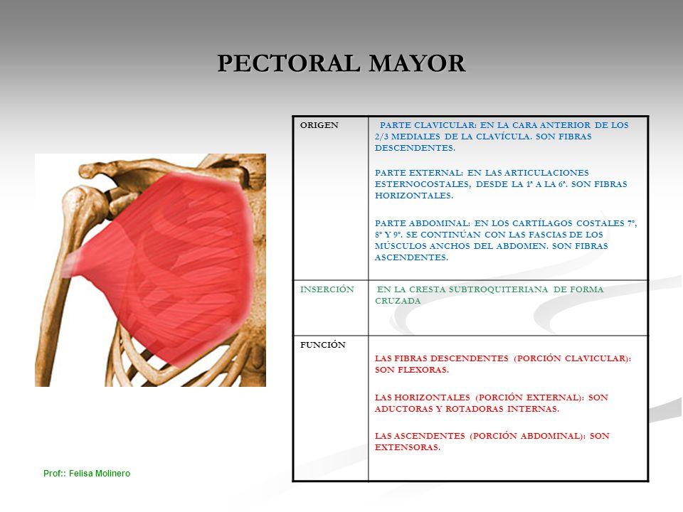 Prof:: Felisa Molinero PECTORAL MAYOR ORIGEN PARTE CLAVICULAR: EN LA CARA ANTERIOR DE LOS 2/3 MEDIALES DE LA CLAVÍCULA. SON FIBRAS DESCENDENTES. PARTE