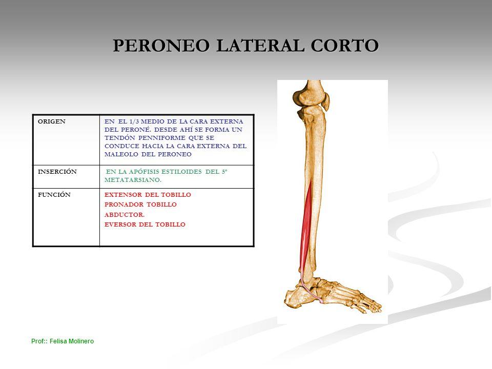 Vistoso La Anatomía Del Tendón Peroneo Largo Embellecimiento ...