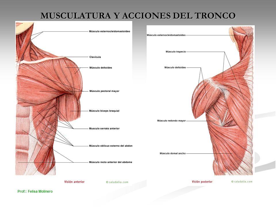 Prof:: Felisa Molinero MUSCULATURA Y ACCIONES DEL TRONCO