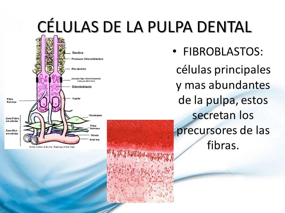 CÉLULAS DE LA PULPA DENTAL CÉLULAS DE LA PULPA DENTAL FIBROBLASTOS: células principales y mas abundantes de la pulpa, estos secretan los precursores d