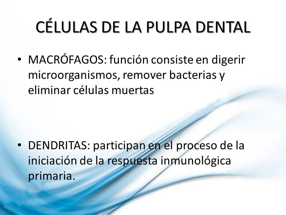 CÉLULAS DE LA PULPA DENTAL MACRÓFAGOS: función consiste en digerir microorganismos, remover bacterias y eliminar células muertas DENDRITAS: participan