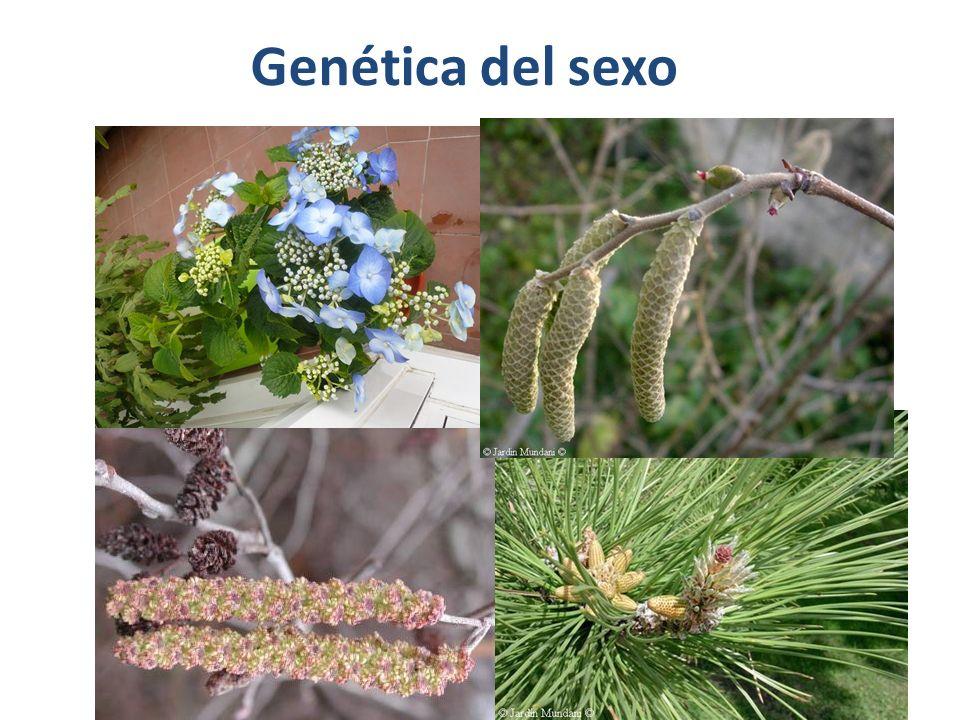 Diferenciación genotípica en plantas ( III ) Diferenciación multigénica: El complejo génico determinante del sexo se localiza en los cromosomas sexuales o heterocromosomas, el resto de cromosomas, cuya segregación en meiosis no influye en la determinación del sexo, se llaman autosomas.