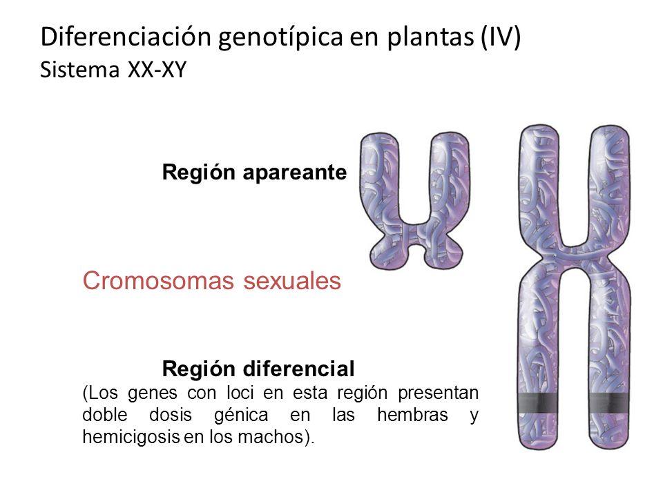 Diferenciación genotípica en plantas (IV) Sistema XX-XY Región apareante Cromosomas sexuales Región diferencial (Los genes con loci en esta región pre