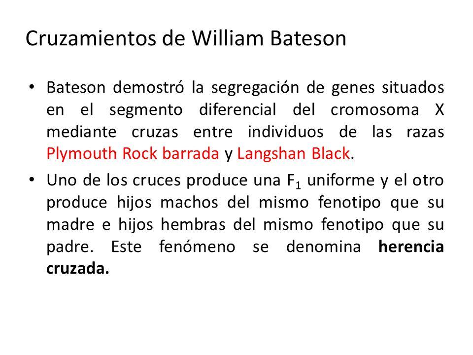 Cruzamientos de William Bateson Bateson demostró la segregación de genes situados en el segmento diferencial del cromosoma X mediante cruzas entre ind