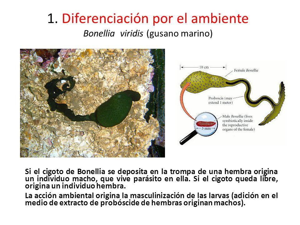 1. Diferenciación por el ambiente Bonellia viridis (gusano marino) Si el cigoto de Bonellia se deposita en la trompa de una hembra origina un individu