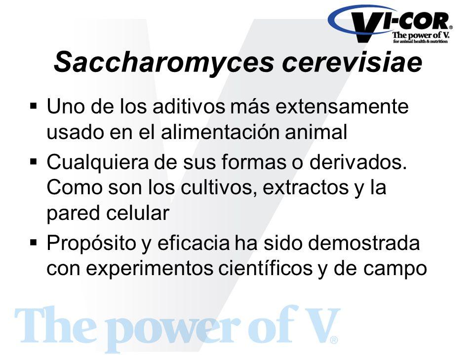Saccharomyces cerevisiae Uno de los aditivos más extensamente usado en el alimentación animal Cualquiera de sus formas o derivados. Como son los culti