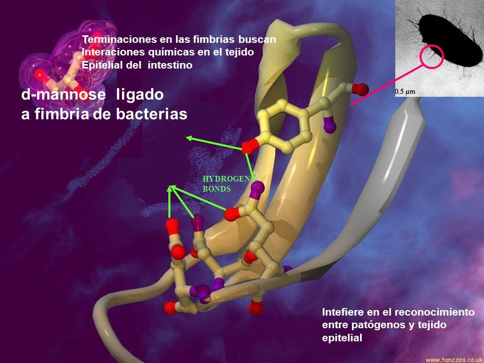 Intefiere en el reconocimiento entre patógenos y tejido epitelial d-mannose ligado a fimbria de bacterias Terminaciones en las fimbrias buscan Interac