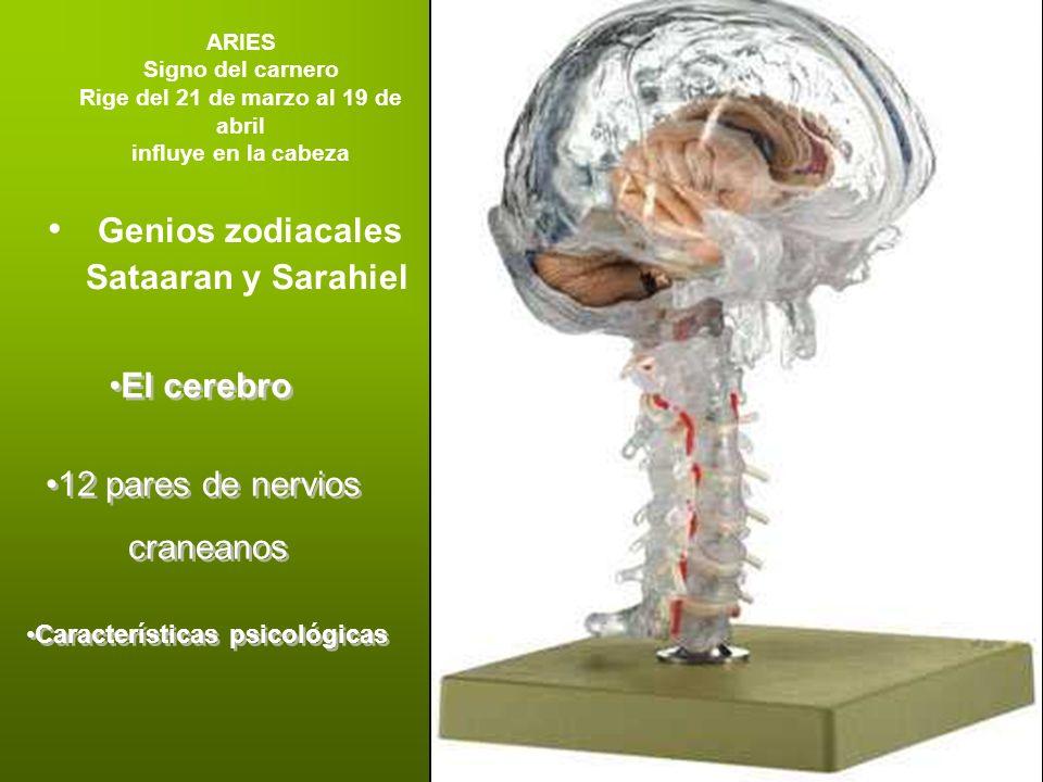 ARIES Signo del carnero Rige del 21 de marzo al 19 de abril influye en la cabeza Genios zodiacales Sataaran y Sarahiel El cerebro 12 pares de nervios