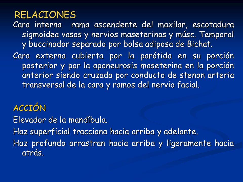 RELACIONES Cara interna rama ascendente del maxilar, escotadura sigmoidea vasos y nervios maseterinos y músc. Temporal y buccinador separado por bolsa