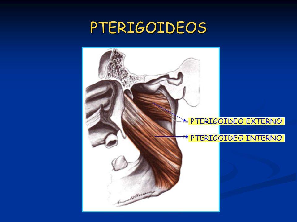 PTERIGOIDEOS PTERIGOIDEO INTERNO PTERIGOIDEO EXTERNO
