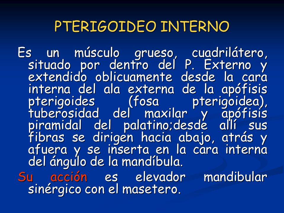 PTERIGOIDEO INTERNO Es un músculo grueso, cuadrilátero, situado por dentro del P. Externo y extendido oblicuamente desde la cara interna del ala exter
