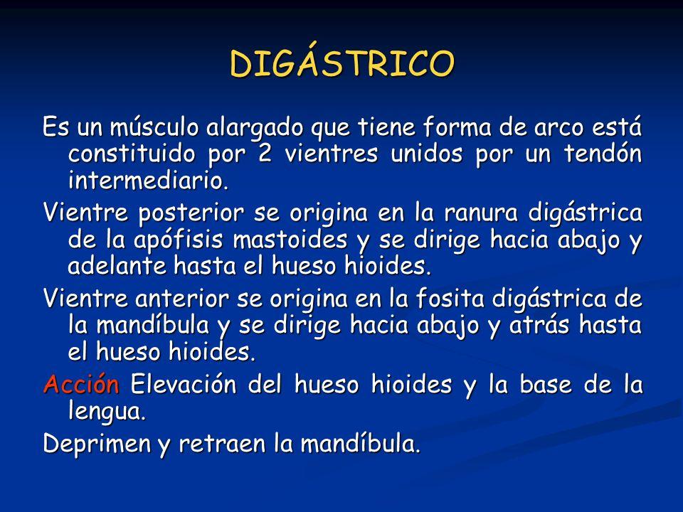 DIGÁSTRICO Es un músculo alargado que tiene forma de arco está constituido por 2 vientres unidos por un tendón intermediario. Vientre posterior se ori
