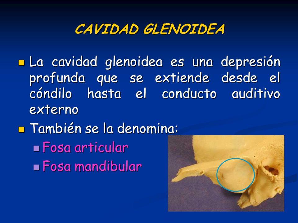 CAVIDAD GLENOIDEA La cavidad glenoidea es una depresión profunda que se extiende desde el cóndilo hasta el conducto auditivo externo La cavidad glenoi