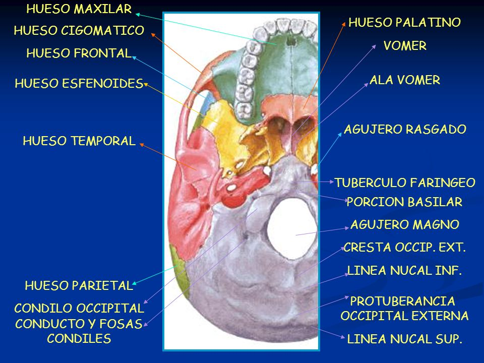 HUESO PALATINO VOMER AGUJERO RASGADO ALA VOMER PROTUBERANCIA OCCIPITAL EXTERNA LINEA NUCAL SUP. CRESTA OCCIP. EXT. LINEA NUCAL INF. AGUJERO MAGNO HUES
