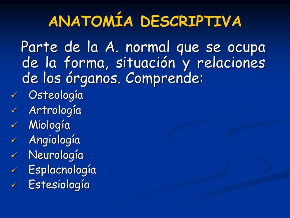 ANATOMÍA DESCRIPTIVA Parte de la A. normal que se ocupa de la forma, situación y relaciones de los órganos. Comprende: Parte de la A. normal que se oc