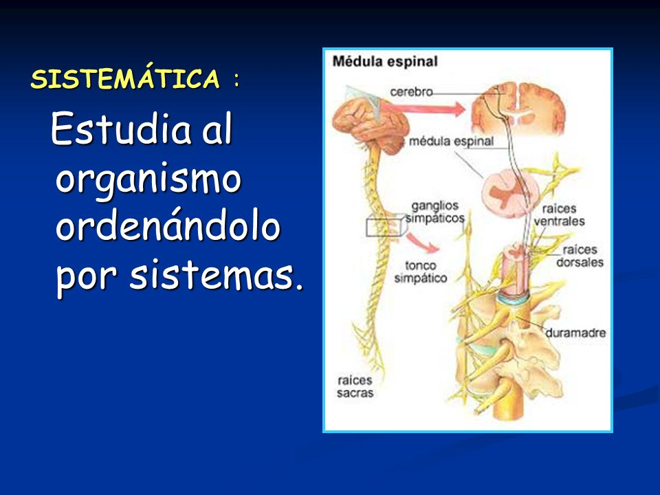 SISTEMÁTICA : Estudia al organismo ordenándolo por sistemas. Estudia al organismo ordenándolo por sistemas.