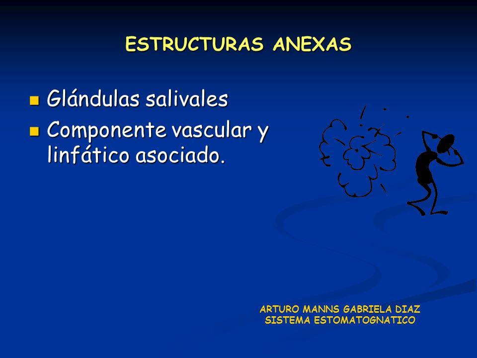 ESTRUCTURAS ANEXAS Glándulas salivales Glándulas salivales Componente vascular y linfático asociado. Componente vascular y linfático asociado. ARTURO