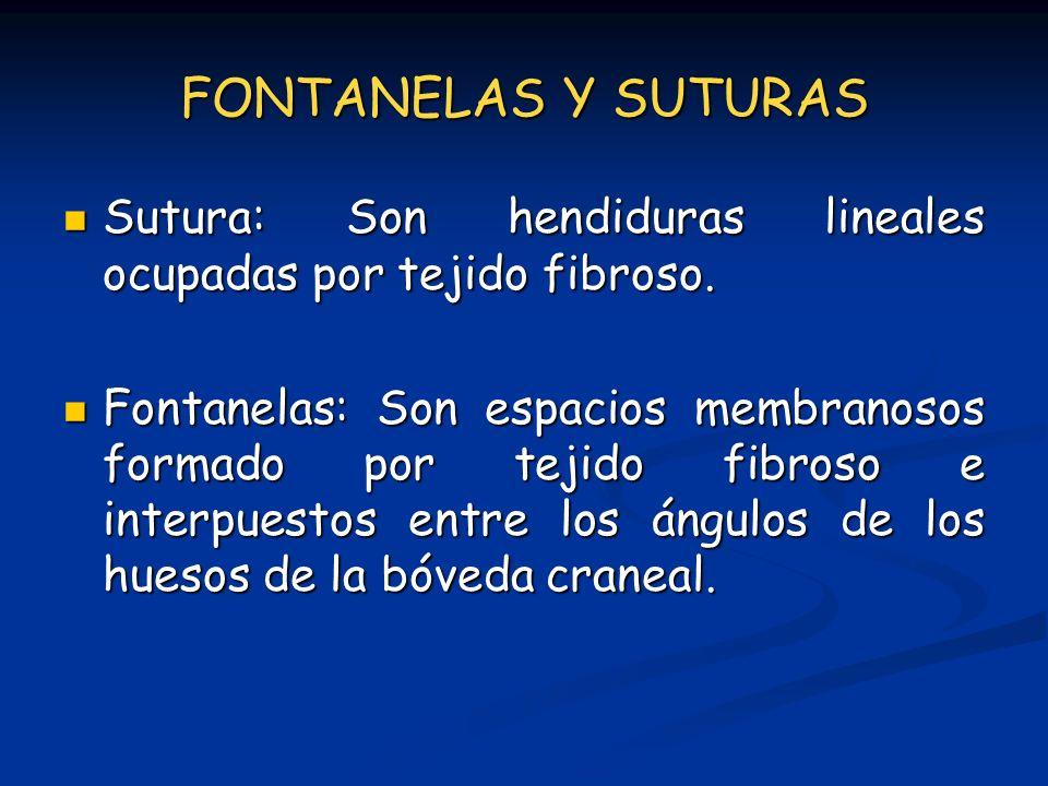 FONTANELAS Y SUTURAS Sutura: Son hendiduras lineales ocupadas por tejido fibroso. Sutura: Son hendiduras lineales ocupadas por tejido fibroso. Fontane
