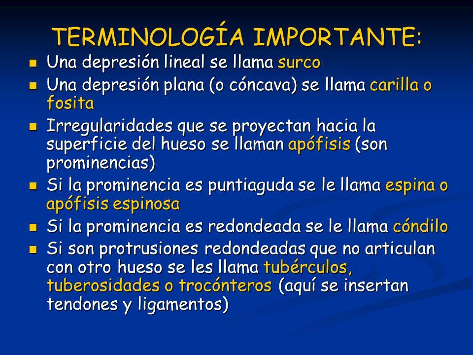 TERMINOLOGÍA IMPORTANTE: Una depresión lineal se llama surco Una depresión lineal se llama surco Una depresión plana (o cóncava) se llama carilla o fo