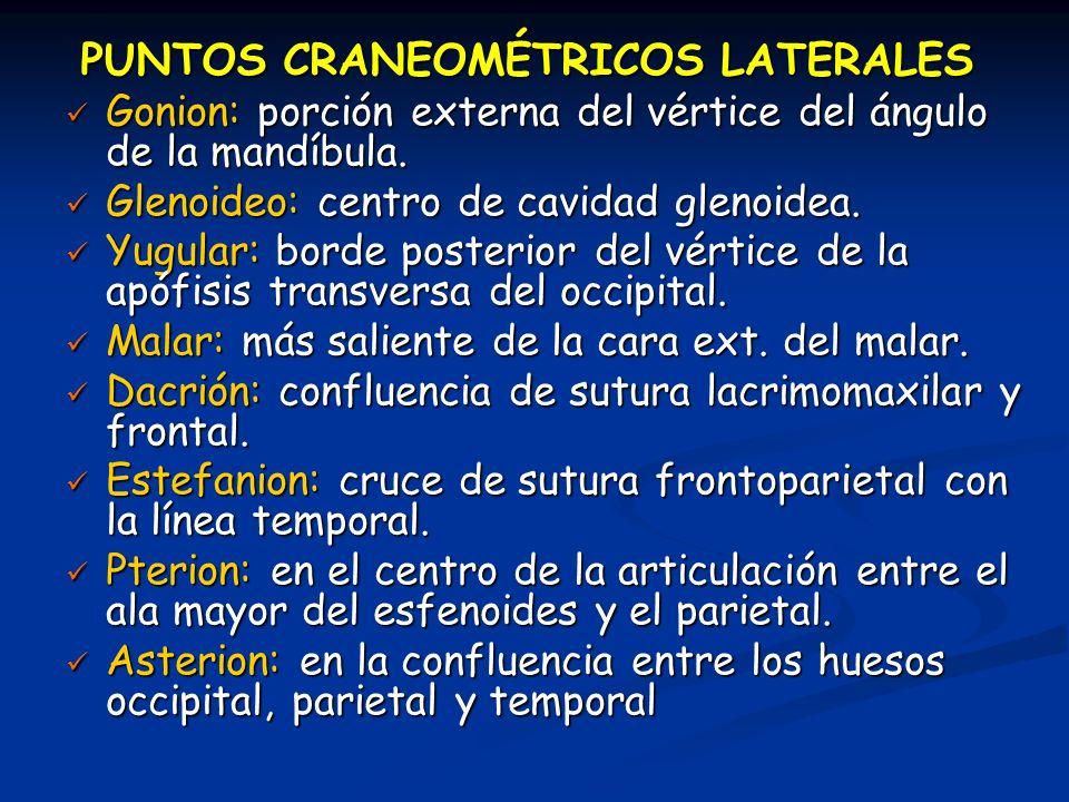 PUNTOS CRANEOMÉTRICOS LATERALES Gonion: porción externa del vértice del ángulo de la mandíbula. Gonion: porción externa del vértice del ángulo de la m