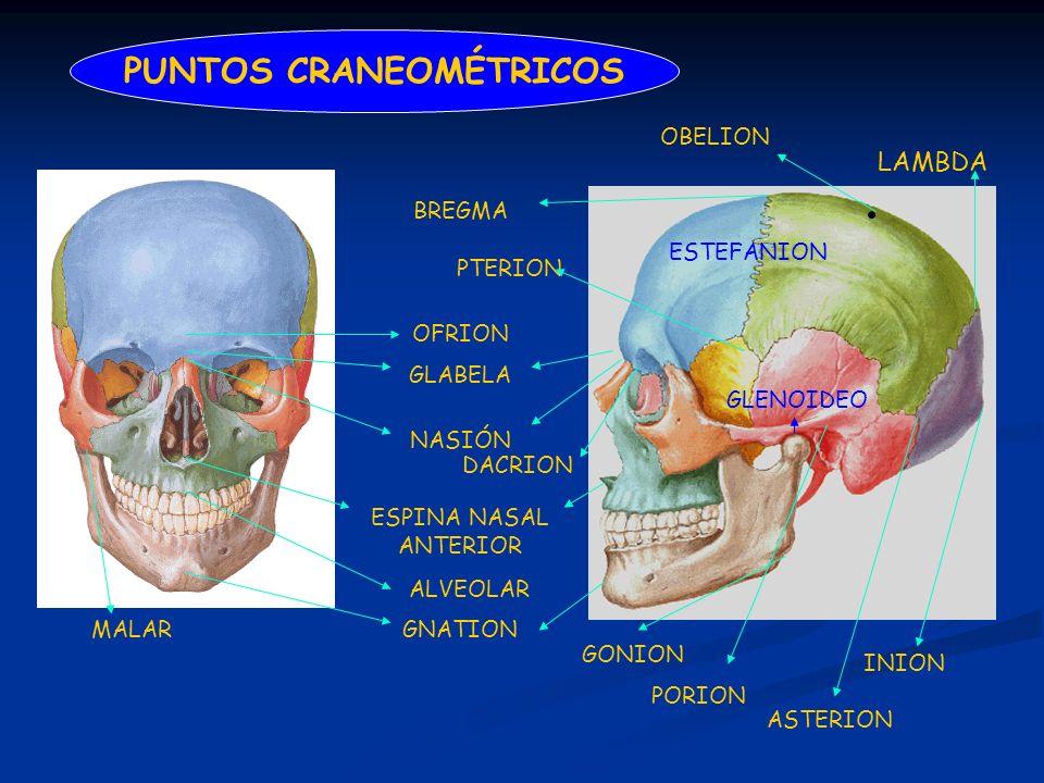 LAMBDA PUNTOS CRANEOMÉTRICOS INION OBELION GNATION ESPINA NASAL ANTERIOR NASIÓN GLABELA BREGMA GONION PTERION ASTERION PORION ALVEOLAR OFRION GLENOIDE