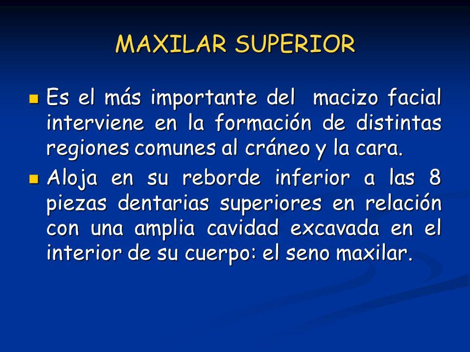 MAXILAR SUPERIOR Es el más importante del macizo facial interviene en la formación de distintas regiones comunes al cráneo y la cara. Es el más import