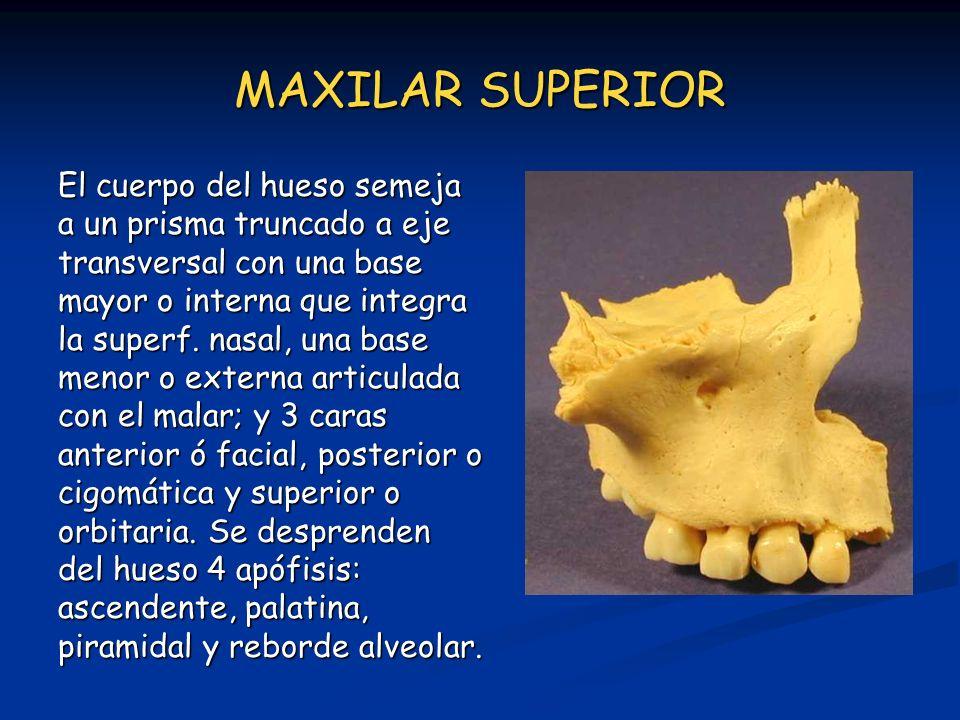 MAXILAR SUPERIOR El cuerpo del hueso semeja a un prisma truncado a eje transversal con una base mayor o interna que integra la superf. nasal, una base
