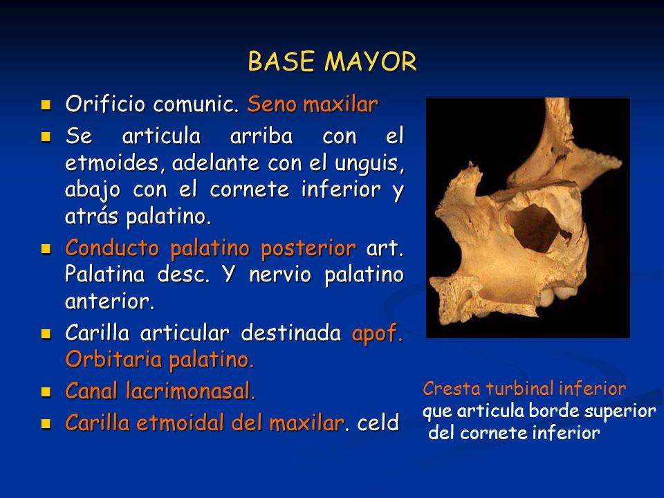 BASE MAYOR Orificio comunic. Seno maxilar Orificio comunic. Seno maxilar Se articula arriba con el etmoides, adelante con el unguis, abajo con el corn