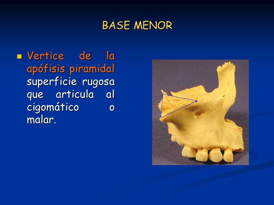 BASE MENOR Vertice de la apófisis piramidal superficie rugosa que articula al cigomático o malar. Vertice de la apófisis piramidal superficie rugosa q