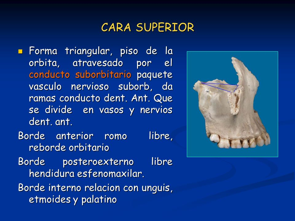 CARA SUPERIOR Forma triangular, piso de la orbita, atravesado por el conducto suborbitario paquete vasculo nervioso suborb, da ramas conducto dent. An