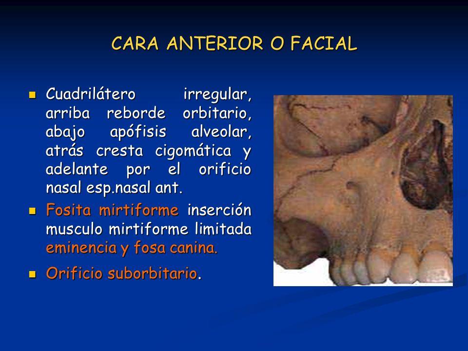 CARA ANTERIOR O FACIAL Cuadrilátero irregular, arriba reborde orbitario, abajo apófisis alveolar, atrás cresta cigomática y adelante por el orificio n