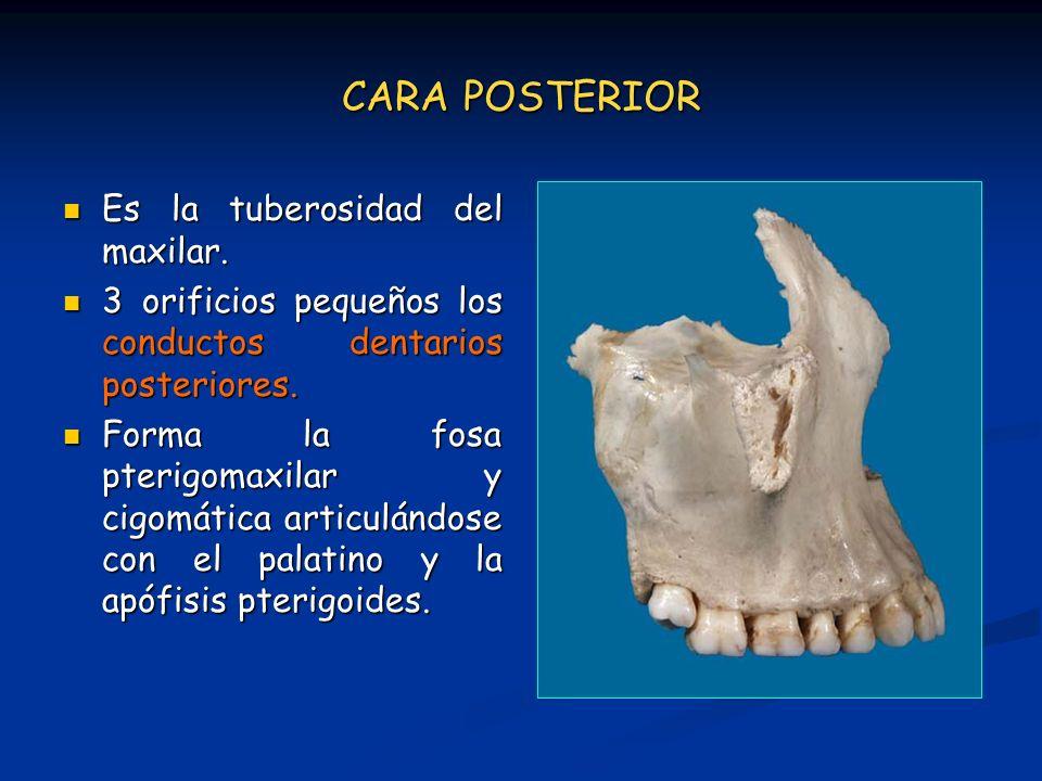 CARA POSTERIOR Es la tuberosidad del maxilar. Es la tuberosidad del maxilar. 3 orificios pequeños los conductos dentarios posteriores. 3 orificios peq