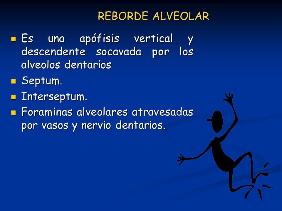 REBORDE ALVEOLAR Es una apófisis vertical y descendente socavada por los alveolos dentarios Es una apófisis vertical y descendente socavada por los al