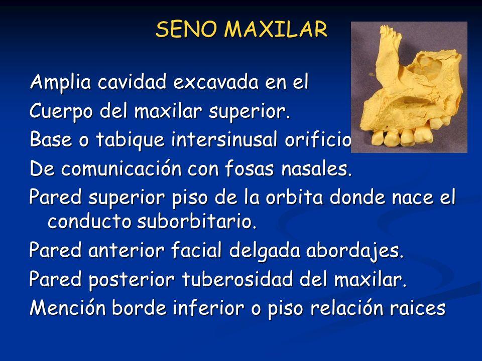 SENO MAXILAR Amplia cavidad excavada en el Cuerpo del maxilar superior. Base o tabique intersinusal orificio De comunicación con fosas nasales. Pared