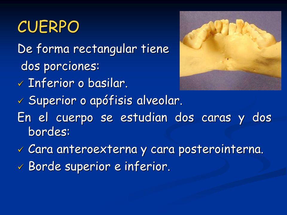 CUERPO De forma rectangular tiene dos porciones: dos porciones: Inferior o basilar. Inferior o basilar. Superior o apófisis alveolar. Superior o apófi