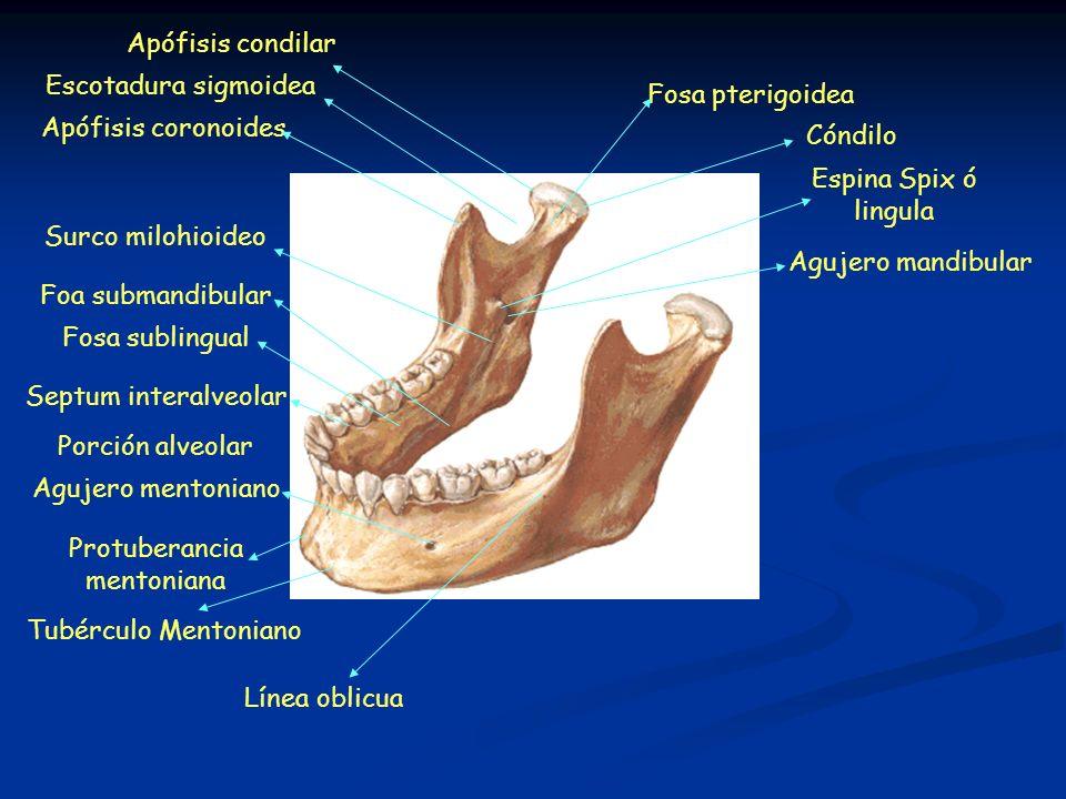 Protuberancia mentoniana Agujero mentoniano Porción alveolar Septum interalveolar Fosa sublingual Foa submandibular Surco milohioideo Tubérculo Menton