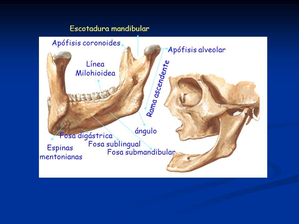 Apófisis alveolar Apófisis coronoides Escotadura mandibular Rama ascendente ángulo Fosa submandibular Fosa sublingual Fosa digástrica Espinas mentonia