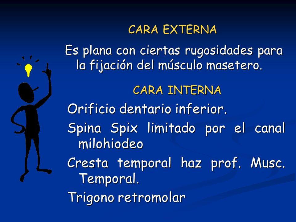 CARA EXTERNA Es plana con ciertas rugosidades para la fijación del músculo masetero. CARA INTERNA Orificio dentario inferior. Spina Spix limitado por